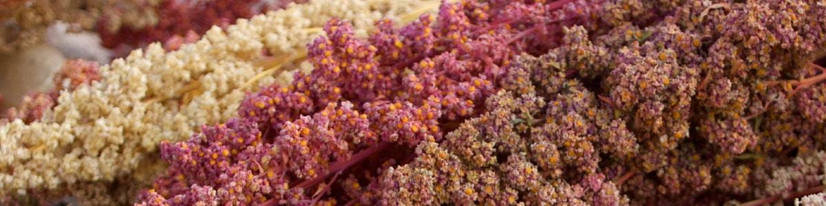 Quinoa Rezepte - Quinoa Pflanze